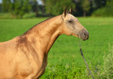 Portrait of buckskin Akhal Teke stallion posing in show chain halter in the field. Horizontal, side view, close up.