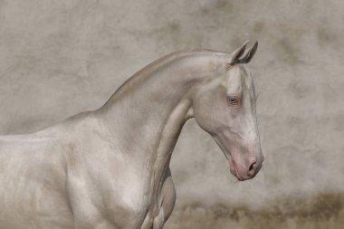 Cremello Akhal Teke stallion portrait against textured old vintage wall.