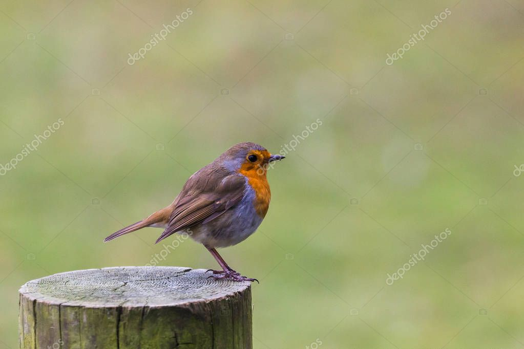 A Robin perched on a fence post