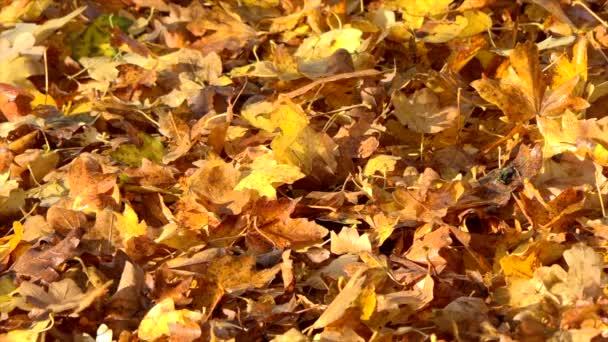 Herbstblätter fallen in Zeitlupe