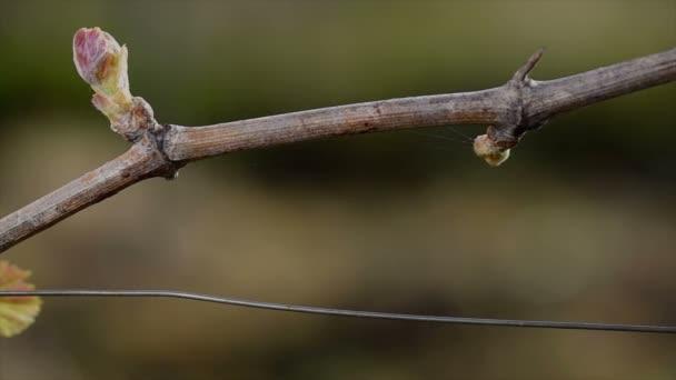 Vinice, nový růst pučením ven z vinné révy