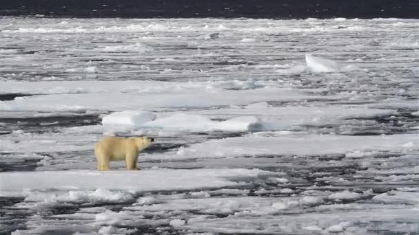 Polar Bear walking on broken sea ice