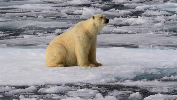 Jegesmedve a törött tengeri jégen sétál