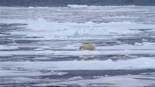 Lední medvěd kráčí po rozbitém mořském ledu