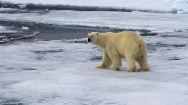 Eisbär läuft auf gebrochenem Meereis