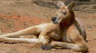 The red kangaroo. Macropus rufus. Portrait