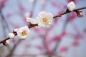 Švestkový květ kvete v zimě v parku