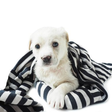 White puppy wrapped in a striped black and white rag. Isolate on a white background.