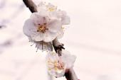 kvetoucí meruňkový strom květiny na začátku jara.