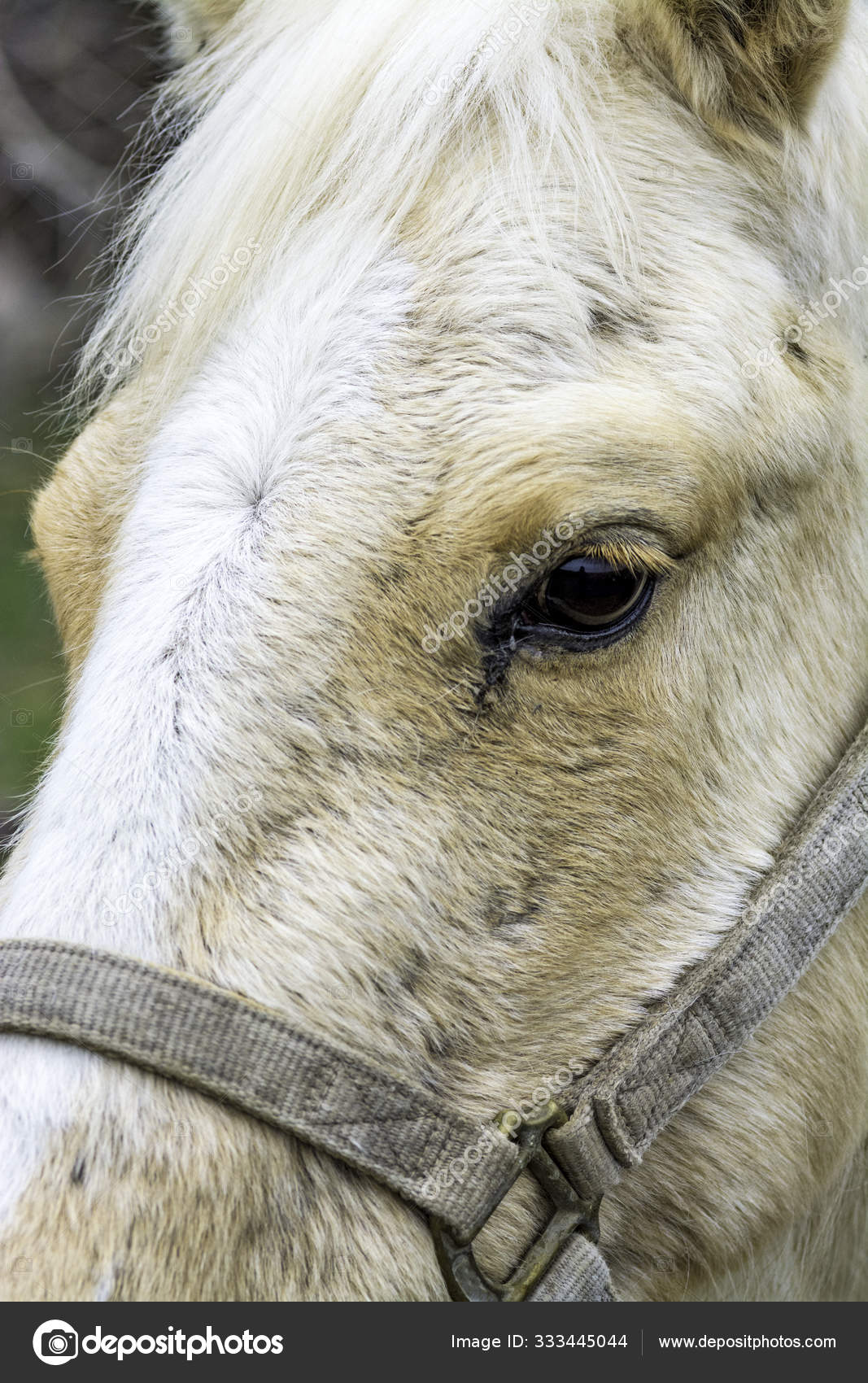 White Horse Eye And Face Stock Photo C Knowlesgallery 333445044