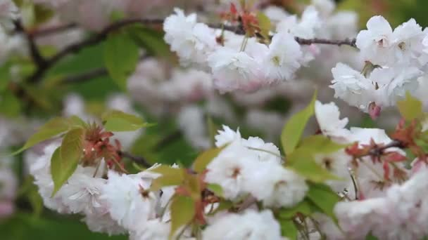 beautiful pink cherry blossoms on tree branches during flowering in the Botanical garden