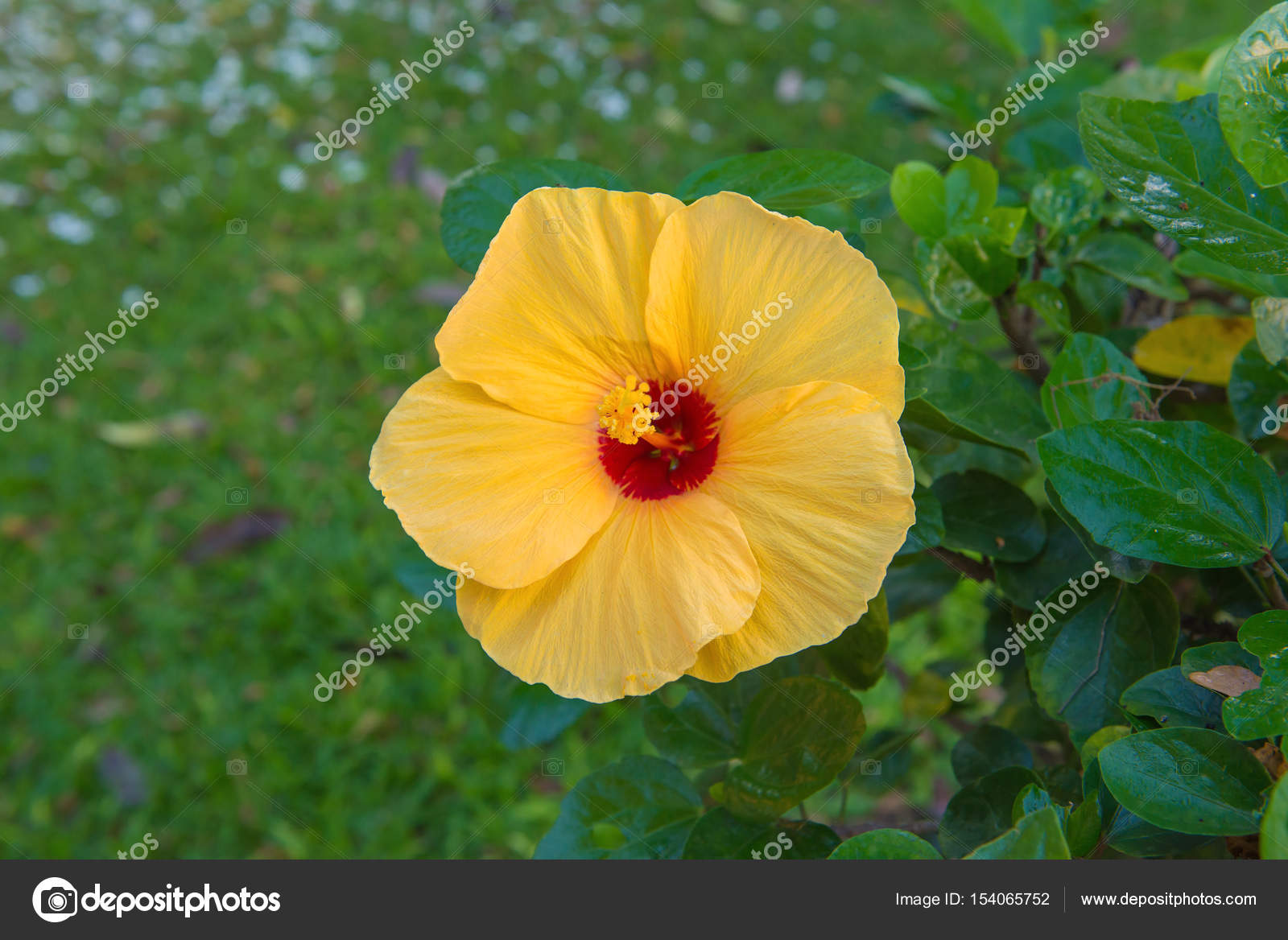 Fresh Hibiscus Yellow Flower In The Garden Stock Photo Casanowe1