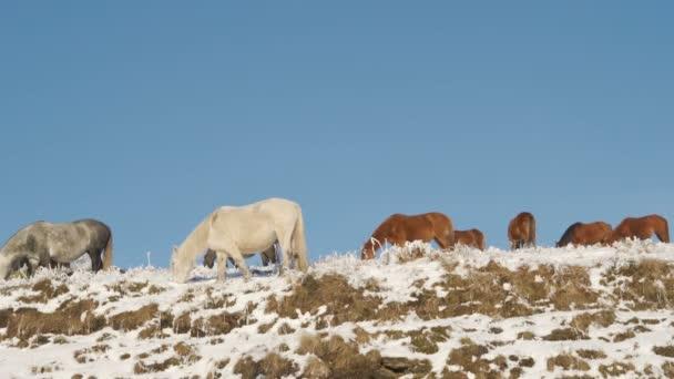 Stádo divokých koní pasoucí se na vrcholu zasněžené hory proti modré obloze