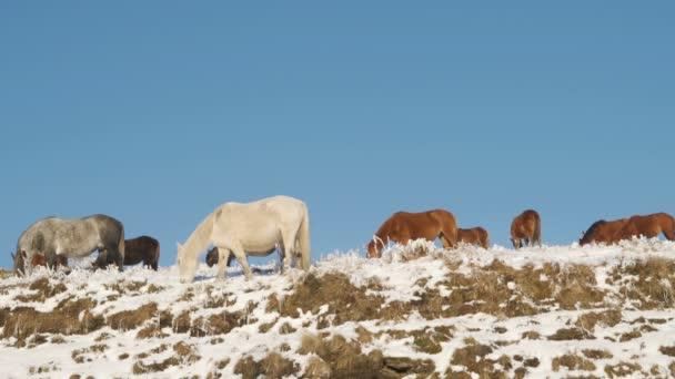 Wildpferde weiden auf einem schneebedeckten Berg vor blauem Himmel