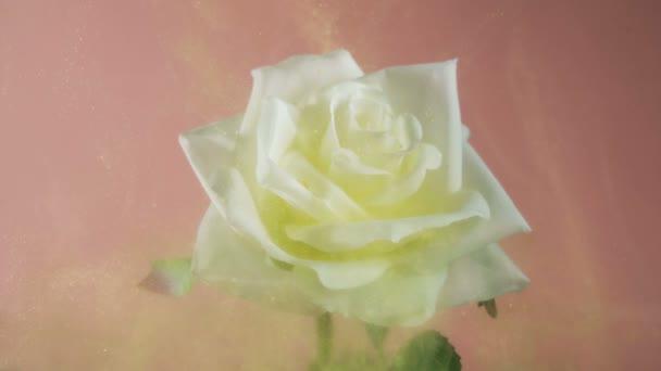 Krásná bílá růže pokrytá vílím zlatým prachem