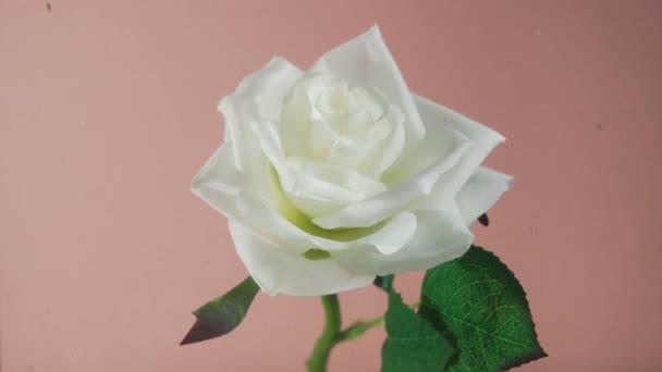 Zblízka krásná bílá růže stoupá