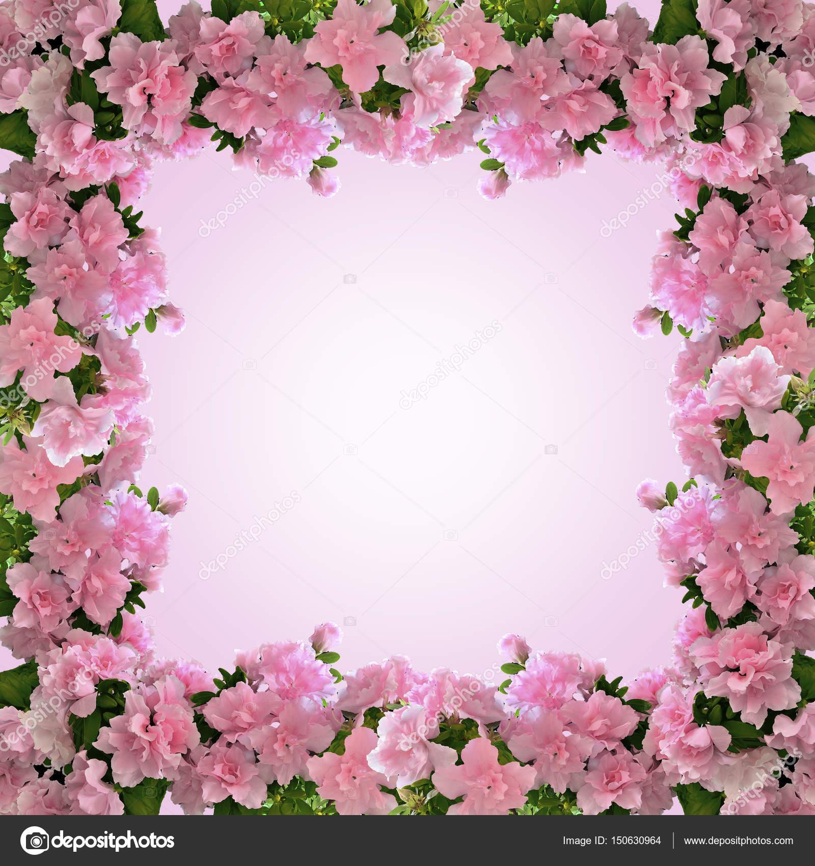 Frame From Pink Azalea Flowers In Bloom Stock Photo Ruvo233