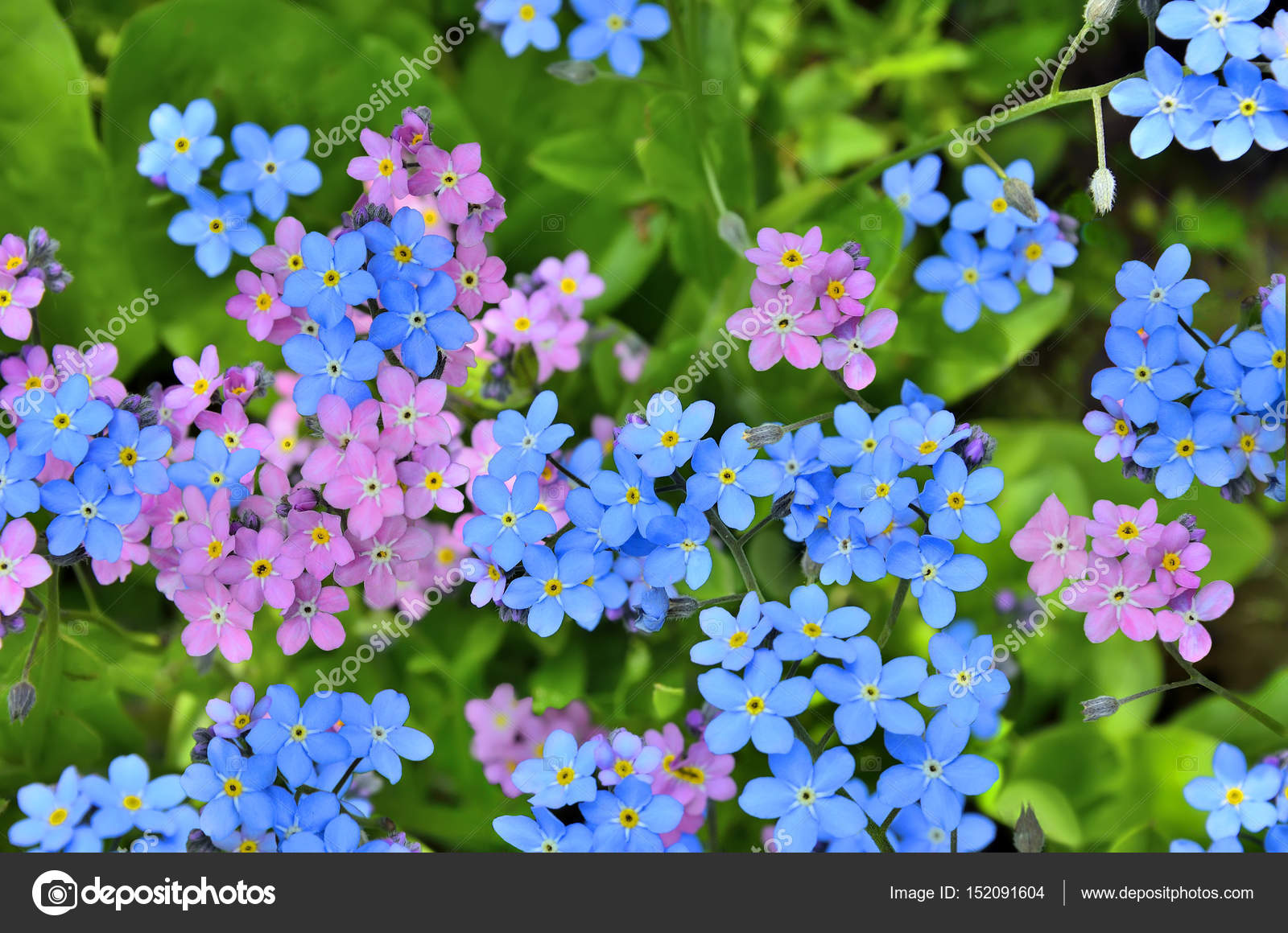 Pink And Blue Forget Me Not Flowers Close Up Stock Photo Ruvo233