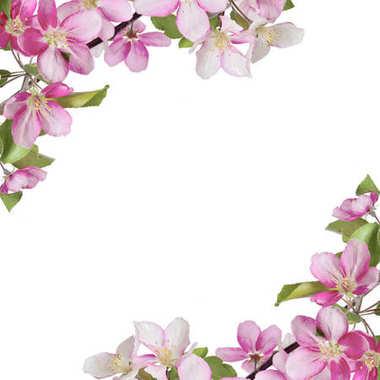 Spring background with pink cherry or apple blossoms