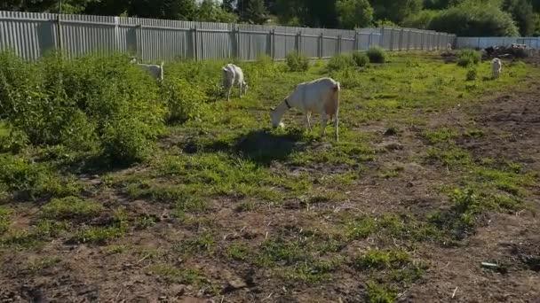 Auf einem Bauernhof stehen weiße Ziegen. Es ist ein warmer Sommertag, die Tiere sonnen sich in der Sonne und fressen Gras..