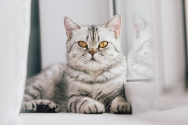 A Scottish or British cat with a marbled black and white color is resting on a white windowsill on a bright sunny day.
