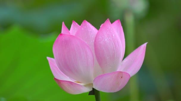 Töve lótuszvirág a tó, Kína