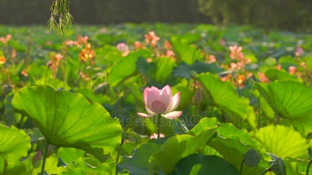 Nabídka růžové lotosů v rybníku, Čína