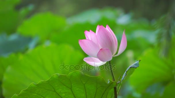 Zavřít pohled Lotosový květ v rybníku, Čína