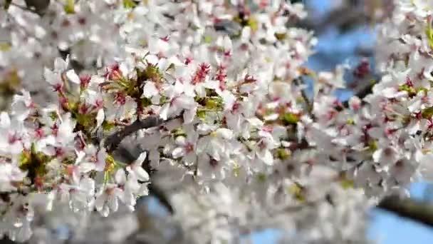 Květy bílé sakura před Fudži, Japonsko