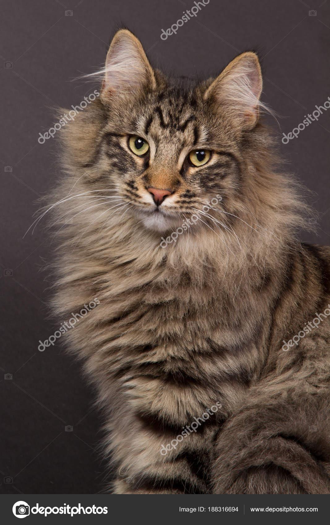 Ritratto di un gatto norvegese della foresta foto stock for Gatto della foresta norvegese