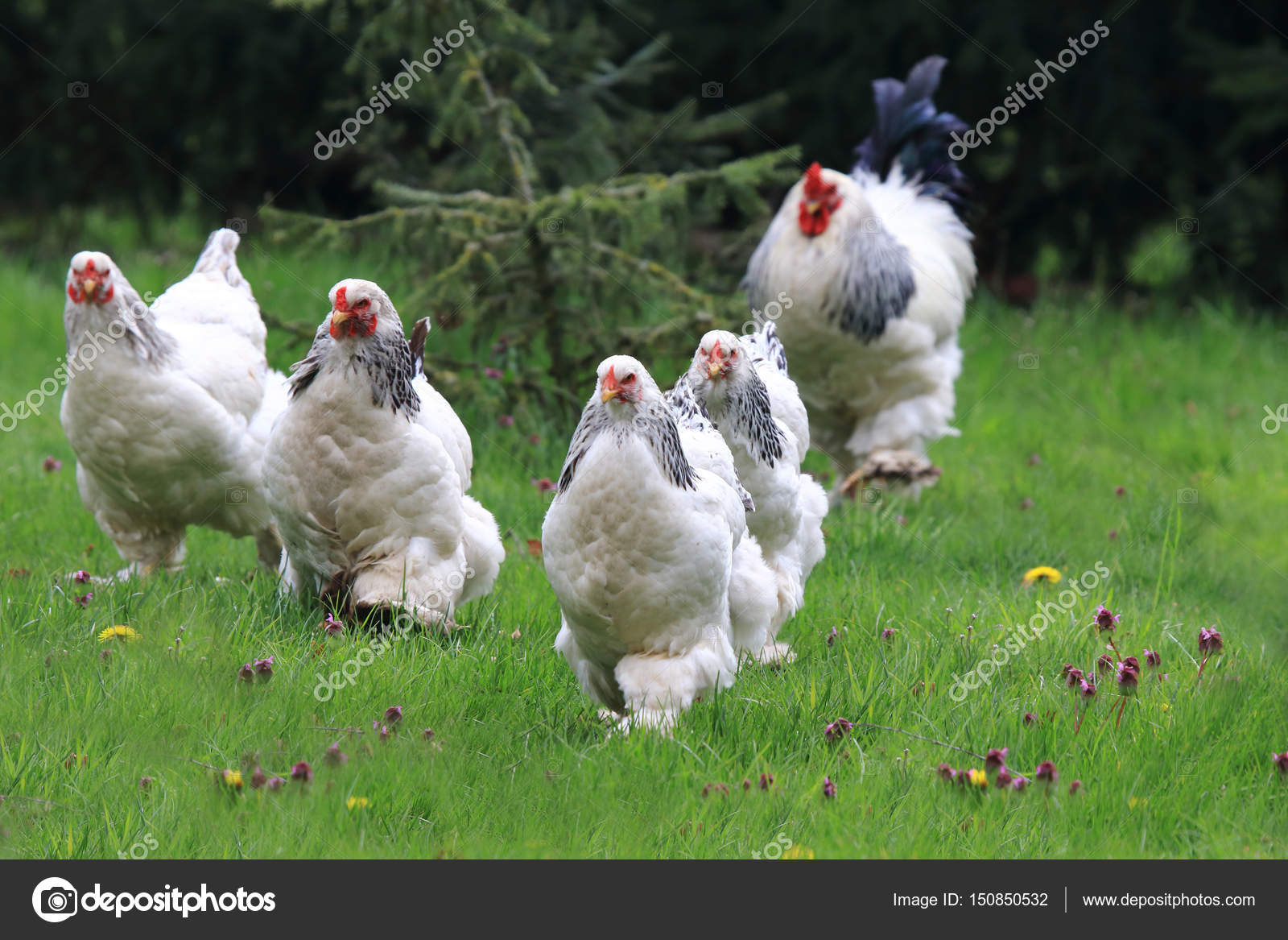 chickens with rooster running stock photo mayerberg 150850532