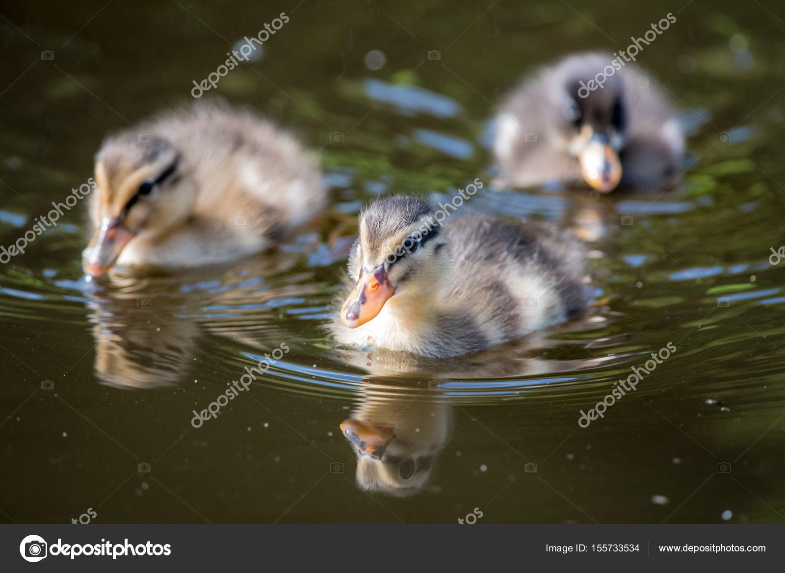 Baby ducklings with reflection — Stock Photo © arjen2405 #155733534