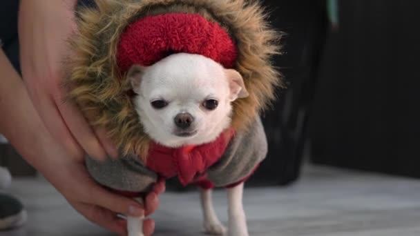 A kis csivava kutya visszatért a sétájáról, és levette a piros kezeslábasát. kutya ruhában. kis fajta.