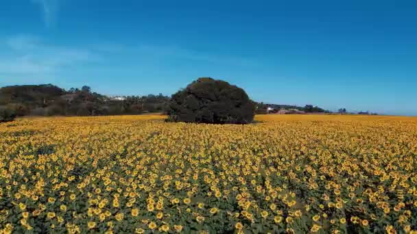 Sunflower: Panoramic view of colored plantation. Countrysides scene. Yellows flower. Sunflowers field.