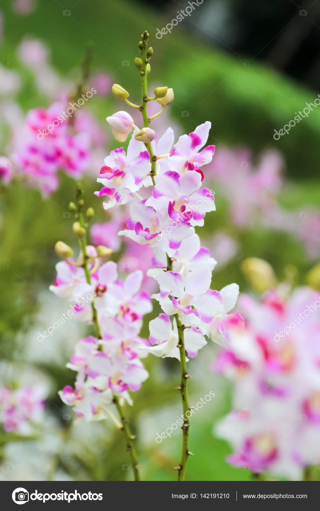 Fermé en hausse de rose et l\'orchidée blanche dans le jardin ...