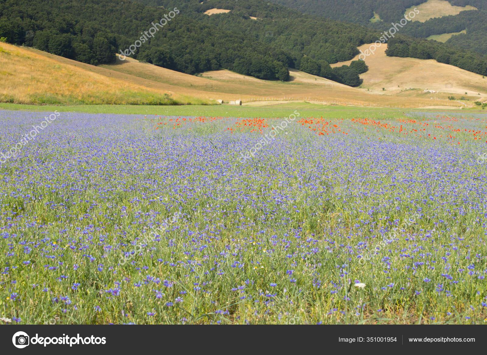 Campos Flores Selvagens Planicie Castelluccio Norcia Apeninos Umbria Italia Stock Photo C Marcoramerini 351001954