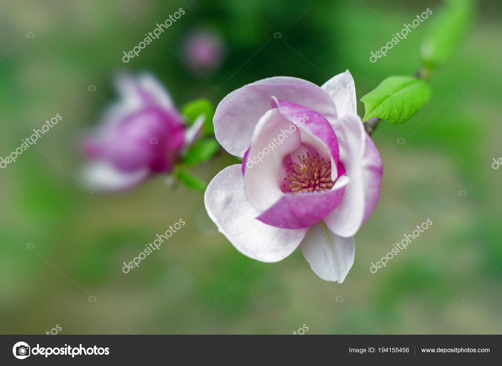 Magnolia Tree In Bloom Beautiful Purple Flowers In Spring Stock