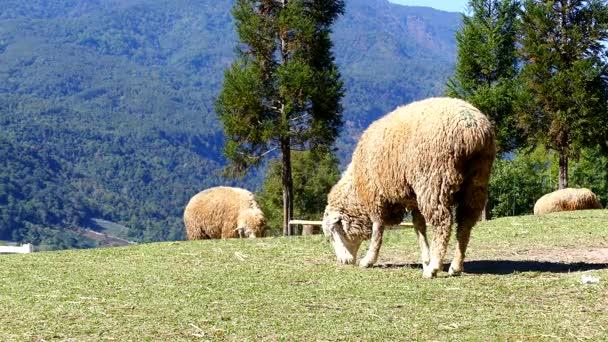 Ovce přežvykuje trávu na louce na Doi Inthanon Chiang mai, Thajsko.