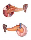 Anatomie lidské slinivky břišní a dvanáctníkového průřezu. Přední a zadní výhledy. 3D ilustrace na bílém pozadí.