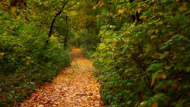 Procházím se podzimním lesem. Cesta přes pestrobarevnou zářivě zlatou podzimní krajinu se slunečním světlem. Svítící padající listí.