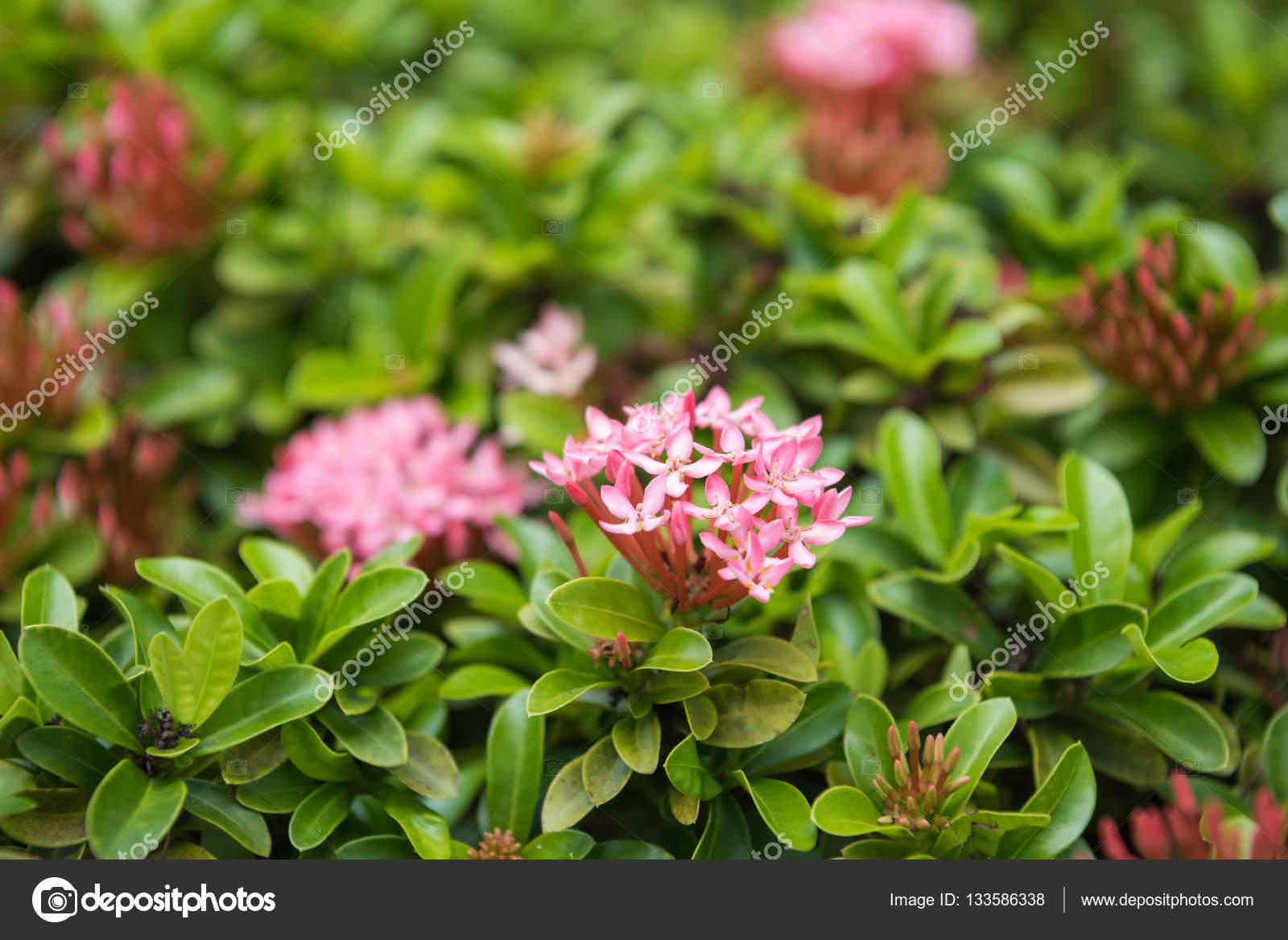 Pink Flower Spike Rubiaceae Floral Stock Photo Ibigblue 133586338