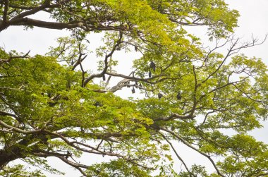Greater Indian fruit bats on the fruit tree in Sri Lanka