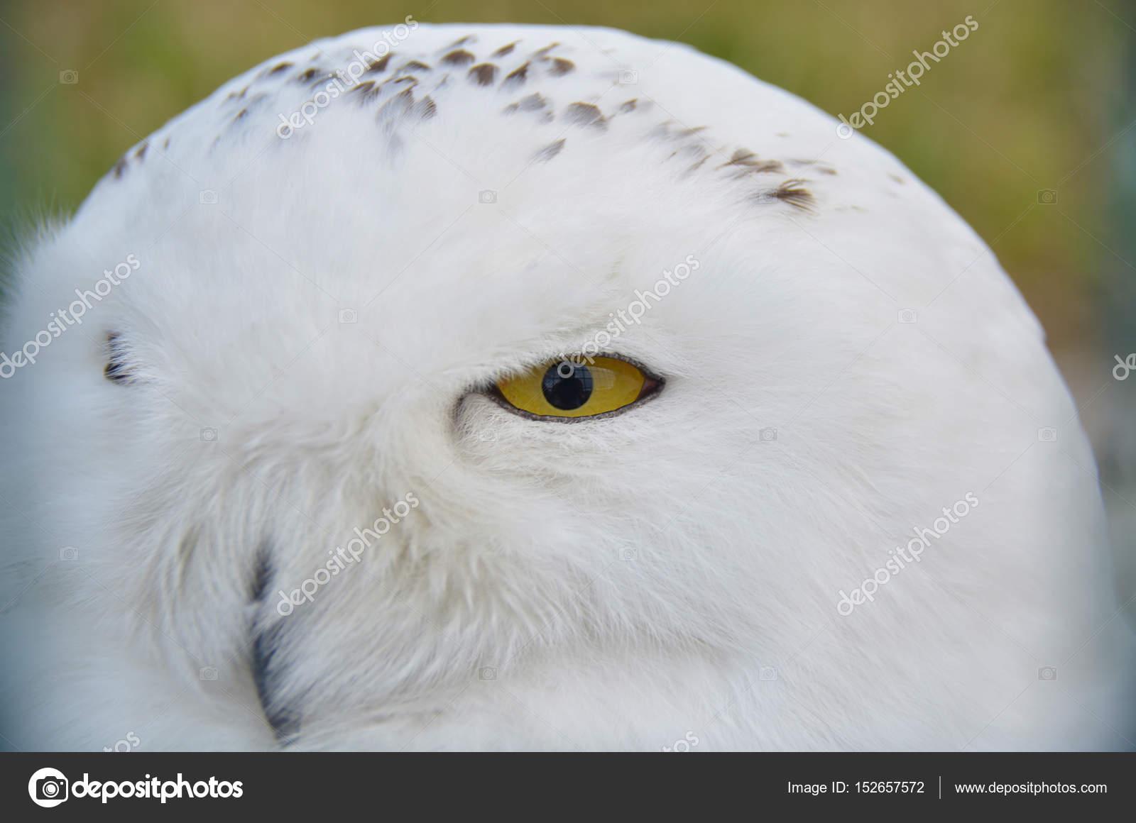 harry potter s white owl stock photo katherinepirs 152657572