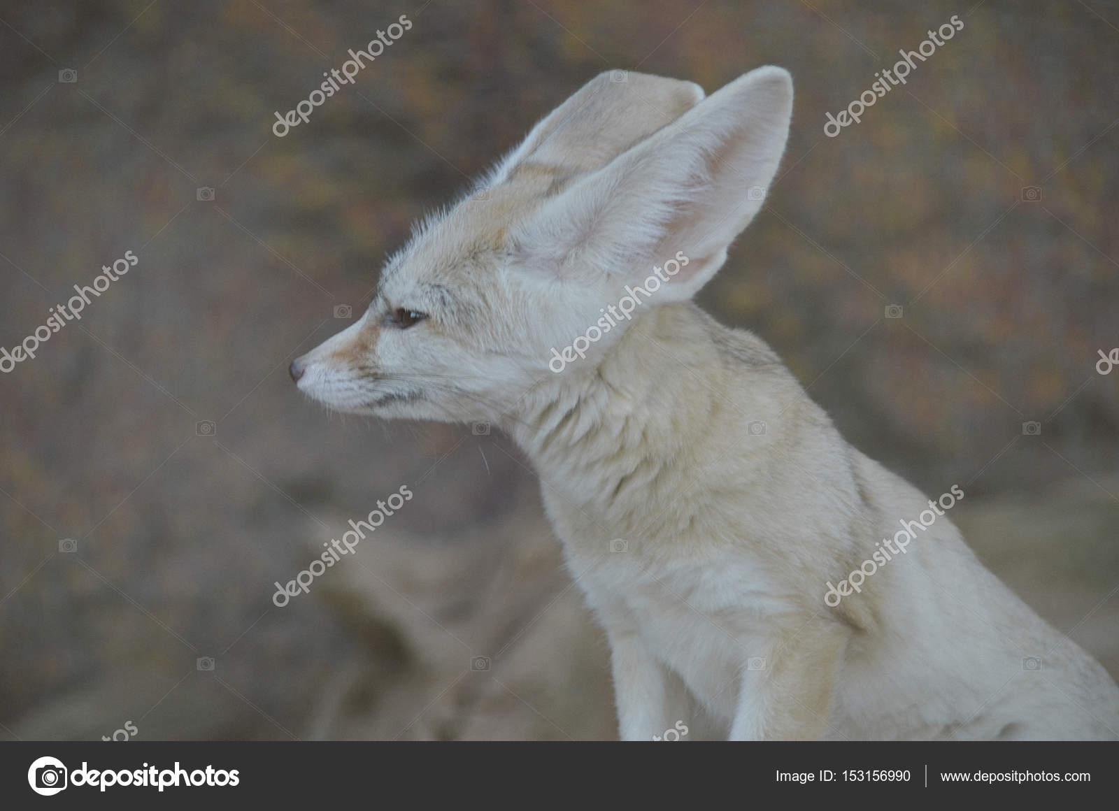 portrait of cute fennec fox stock photo katherinepirs 153156990