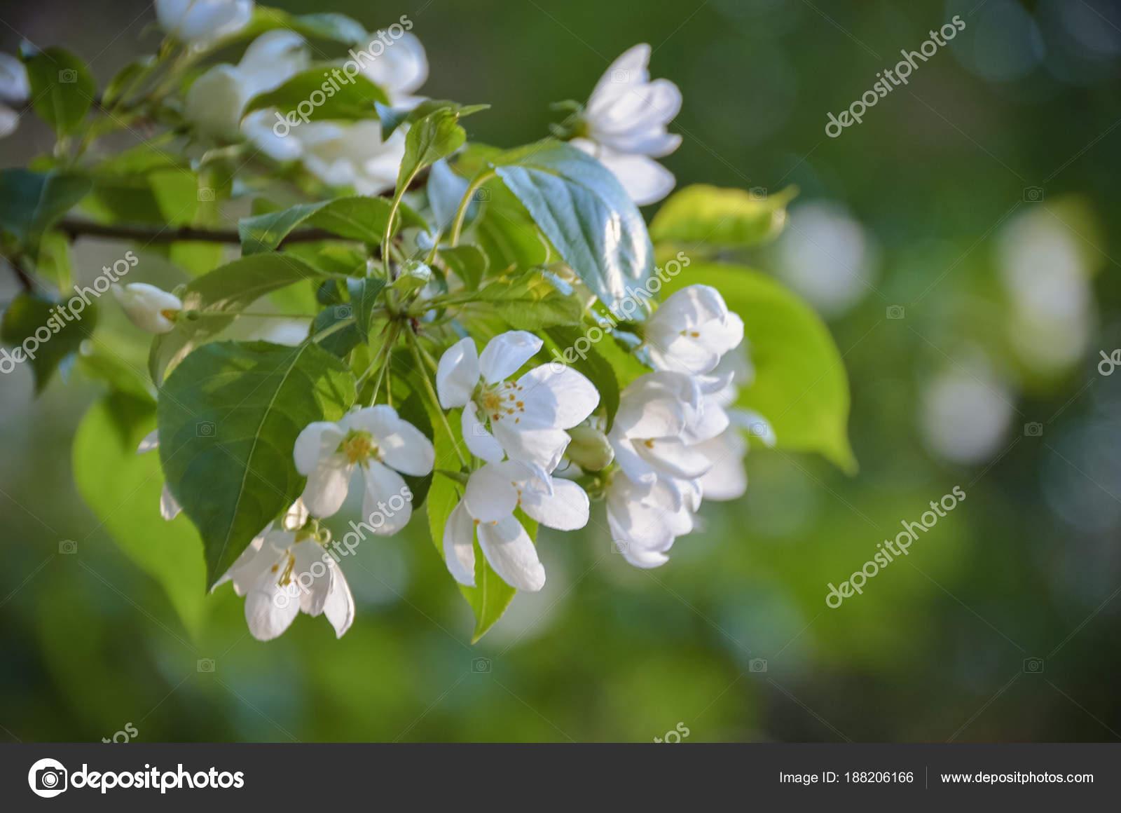 Fragrant Branch Blooming White Flowers Spring Morning Sun Stock
