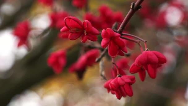 orsófák, vörös kaszkád (Euonymus europaeus), őszi virágok