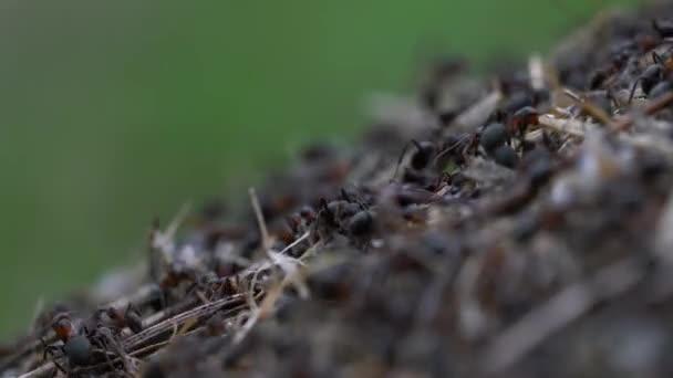 Hangyák kollektív építése hangyaboly