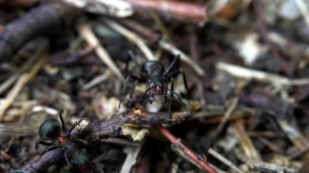 Ant controlling entrance in anthill