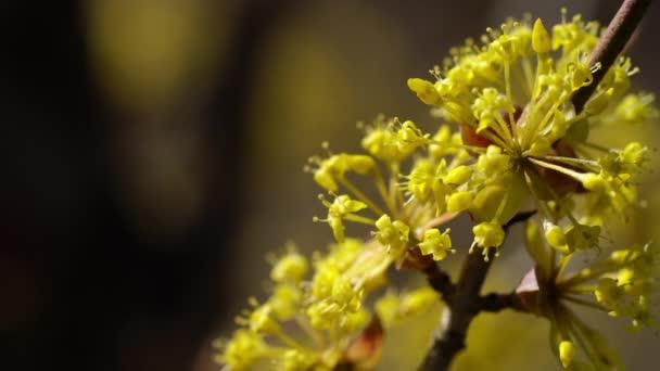Blossom of European Cornel in natural environment (Cornus mas)