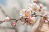 Kvetoucí meruňková větev na jaře slunečného dne.